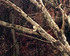 white squirrel 1 crop