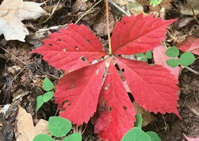 Red Leaf – 2550x1000